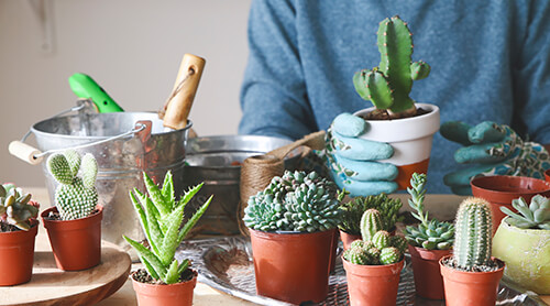 Person in gardening gloves putting small succulents in ceramic pots