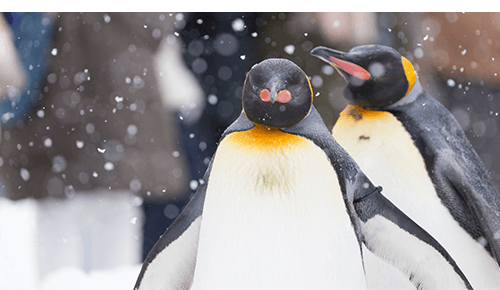 Two penguins in the snow at the zoo
