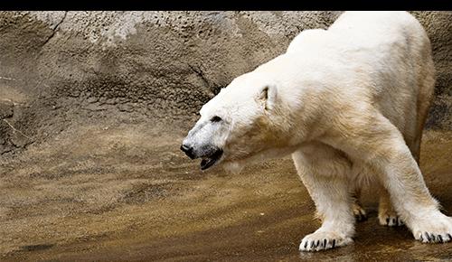 Polar bear in zoo exhibit