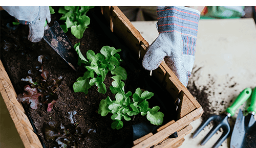 Person planting leafy greens in small gardening container