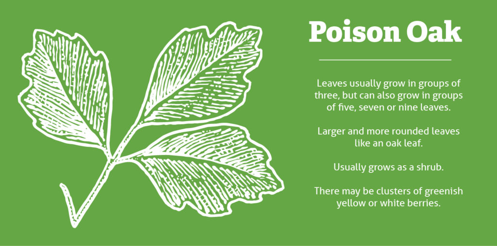 Poison Ivy Vs Oak Vs Sumac Ohiohealth