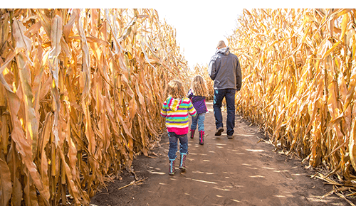 Father and children walking through corn maze